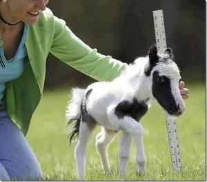 Einstein, le cheval le plus petit au monde.